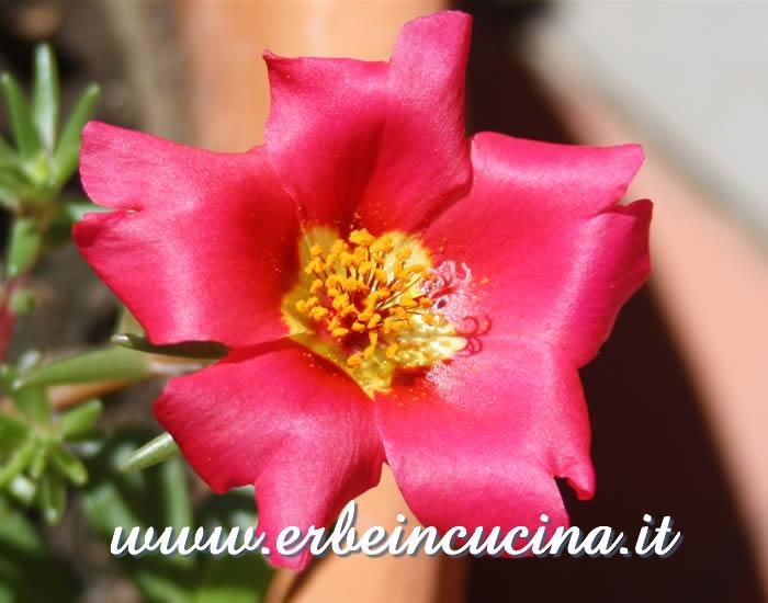 Erbe in cucina fiore di portulaca grandiflora for Portulaca commestibile