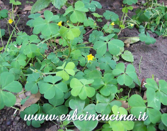 Acetosella in fioritura / Yellow Wood Sorrel Flower