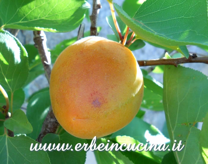 Prima albicocca pronta da raccogliere / Ripe apricot, ready to be harvested