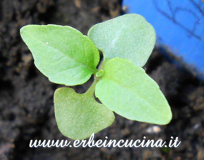 Giovane pianta di basilico liquirizia / Licorice Basil young plant
