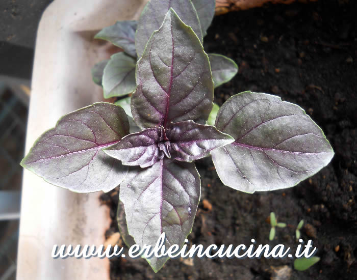 Basilico Red Rubin / Red Rubin Basil