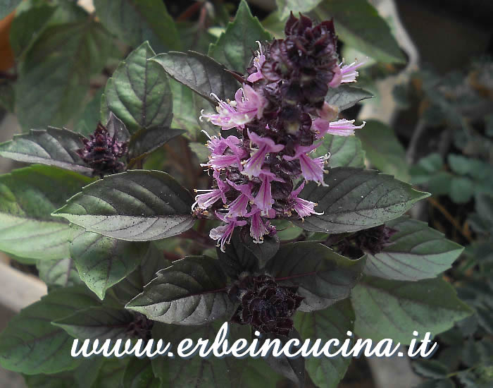 Fiore di basilico Red Rubin / Red Rubin basil flower