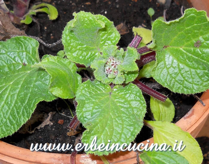 Borragine pronta da raccogliere / Borage, ready to be harvested