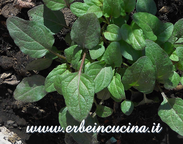 Brunella (prunella) pronta da raccogliere / Self-heal ready to be harvested