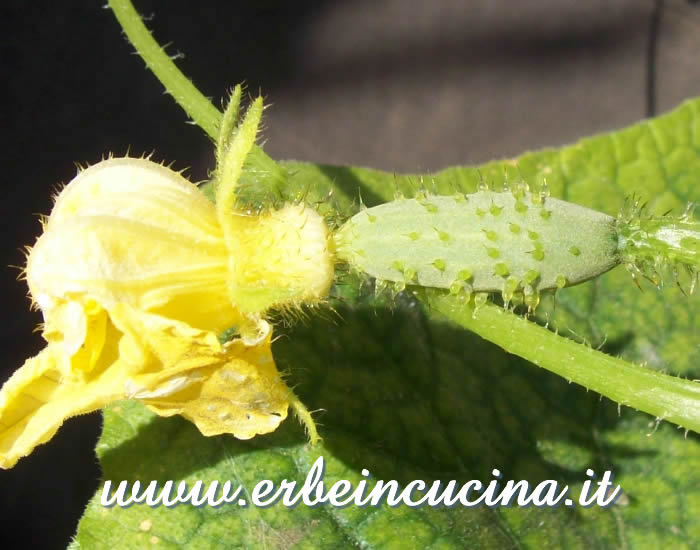 Piccolo cetriolino / Small Gherkin