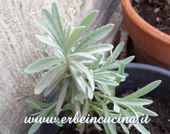 Pianta di lavanda da talea / Lavender plant started from cutting