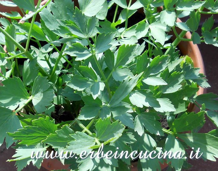 Levistico pronto da raccogliere / Lovage, ready to be harvested