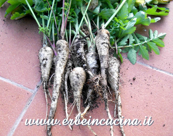 Raccolto di pastinache, cultivar Guernsey / Guernsey Parsnips harvest
