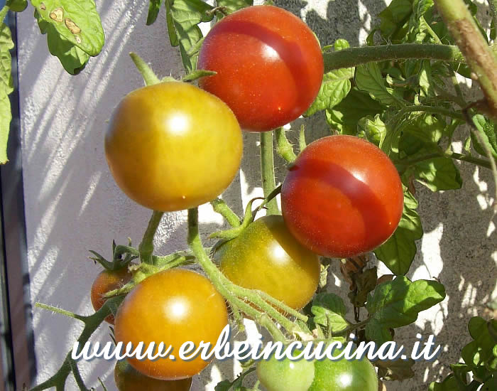 Pomodori Cherry Black a vari stadi di maturazione / Ripe and unripe Cherry Black Tomatoes