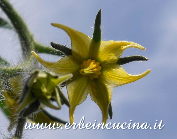 Fiore di pomodoro Golden Sunrise / Golden Sunrise tomato flower