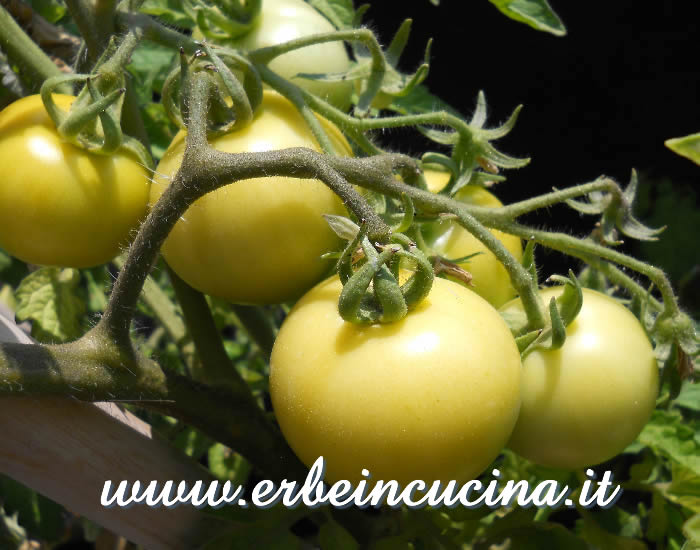 Pomodori Golden Sunrise a vari stadi di maturazione / Ripe and unripe Golden Sunrise tomatoes