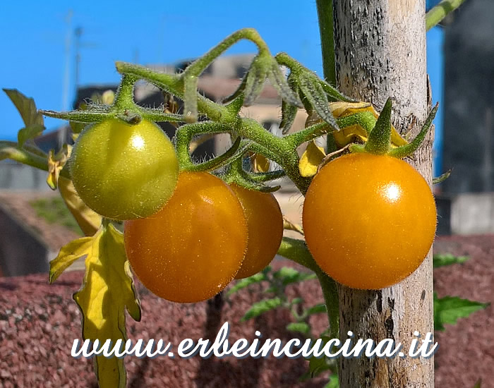 Pomodori Yellow Chocolate maturi / Ripe Yellow Chocolate tomatoes