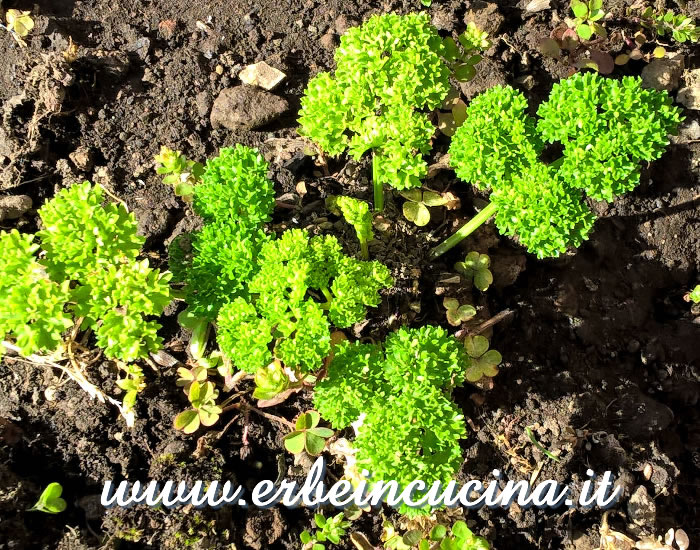 Prezzemolo riccio Afrodite / Curly Leaf Parsley Afrodite