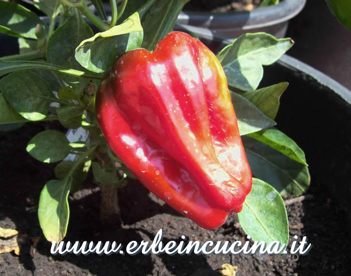 Peperoncino Redskin maturo / Ripe Redskin chili pepper pod