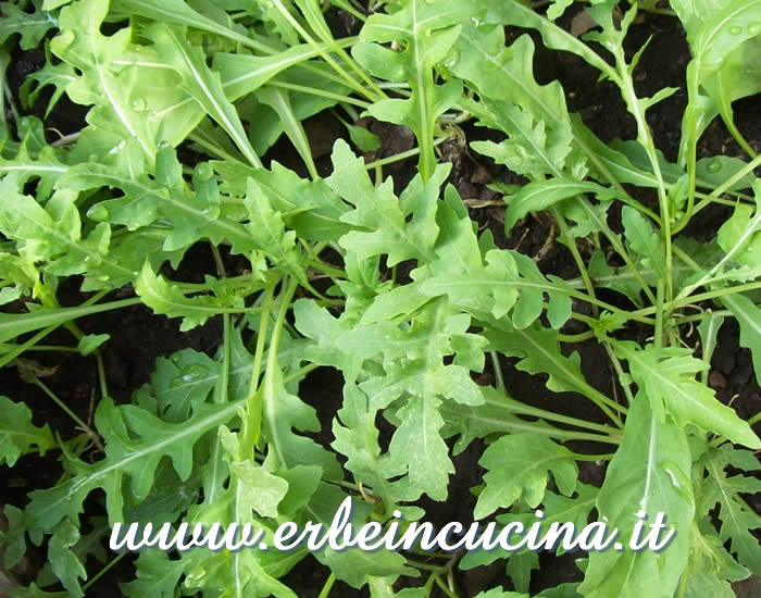 Rucola selvatica pronta da raccogliere / Wild rocket, ready to be harvested